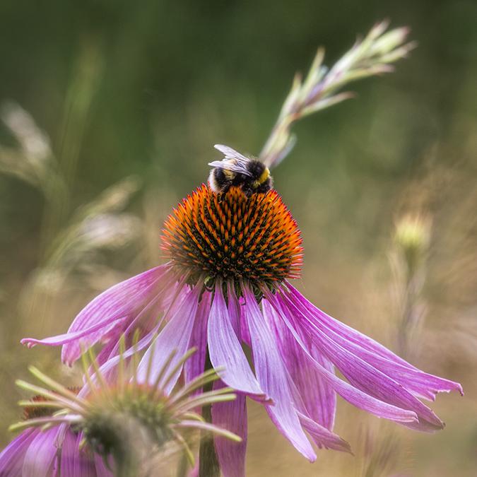 9986 Echinacea leuchstern