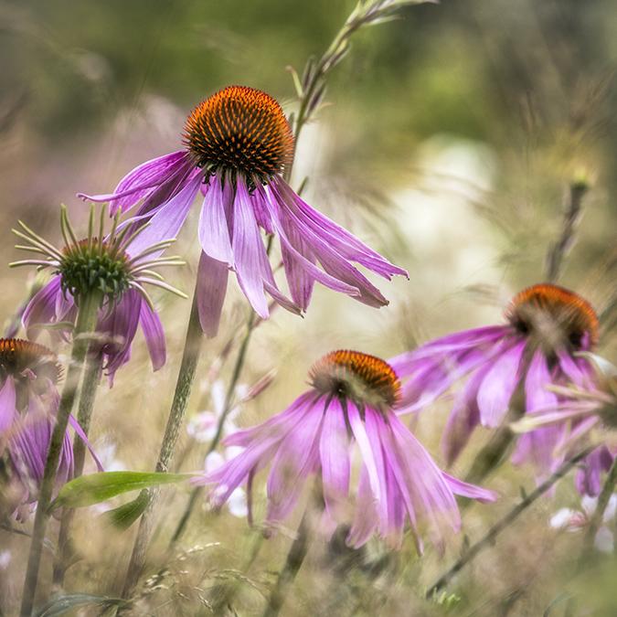 9991 Echinacea leuchstern