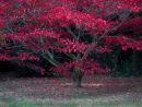 Acer Westonbirt Arboretum