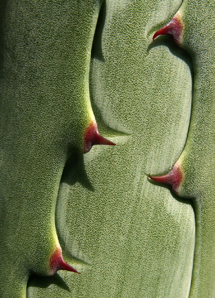 Agave pattern