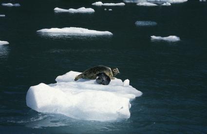 Alaska Harbour Seals