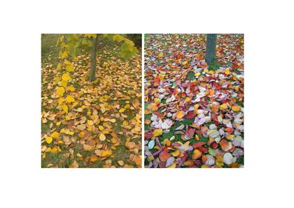 Autumn two trees