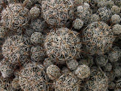 Cacti group