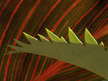 Canna and leaf