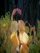 Dogwoods Westonbirt Arboretum