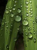 Droplets on Montbretria