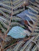 Frost on ferns