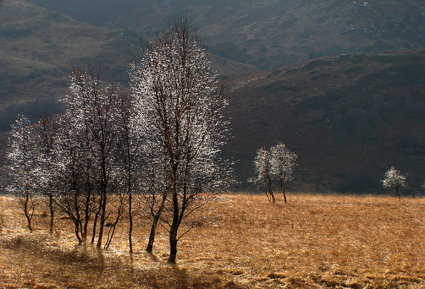 Loch Leven birch trees