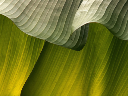 Musa leaf