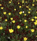 Tulip bed, RHS Wisley