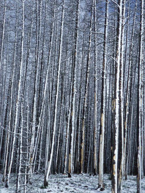 Yellowstone Lodgepole pine