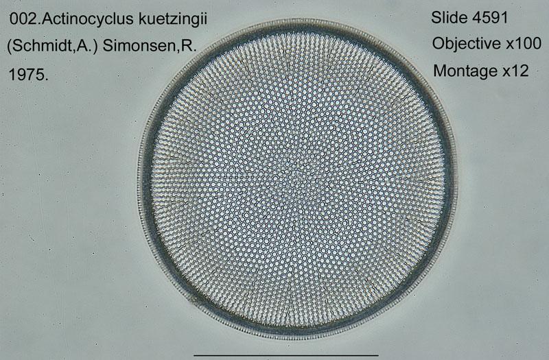002Actinocyclus kuetzingii