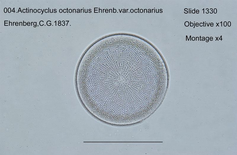 004Actinocyclus octonarius
