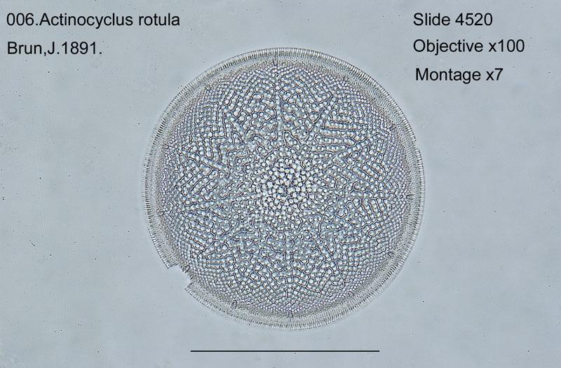 006Actinocyclus rotula
