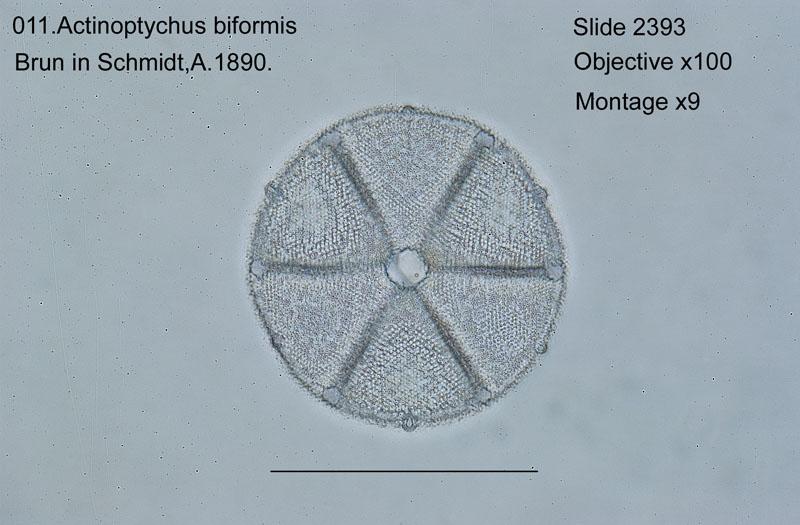 011Actinoptychus biformis