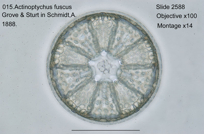 015Actinoptychus fuscus