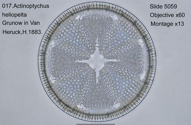 017Actinoptychus heliopelta