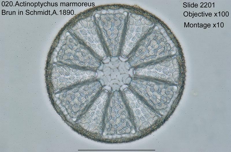 020Actinoptychus marmoreus