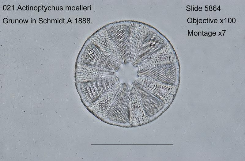 021Actinoptychus moelleri