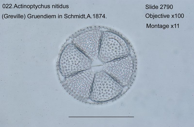 022Actinptychus nitidus