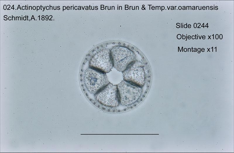 024.Actinoptychus pericavitus var. oamaruensis