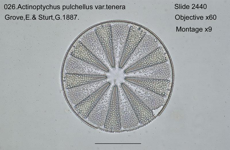 026Actinoptychus pulchellus var. tenera