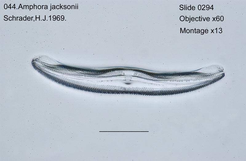 044Amphora jacksonii