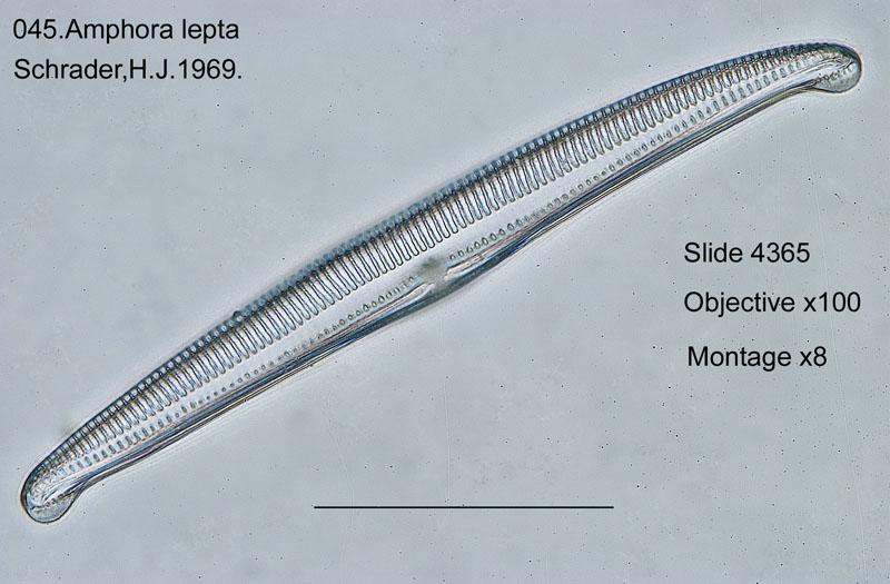 045Amphora lepta