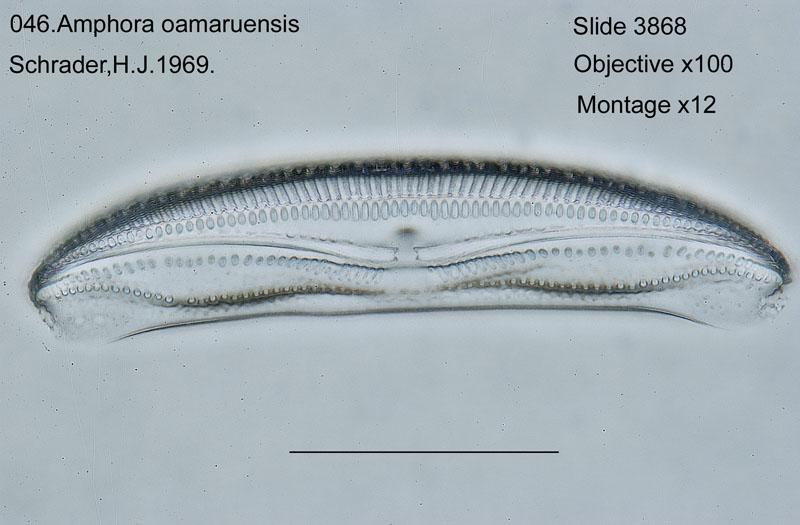 046Amphora oamaruensis