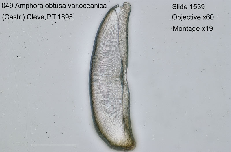 049 Amphora obtusa var. oceanica