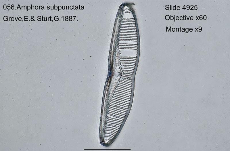 056 Amphora subpunctata