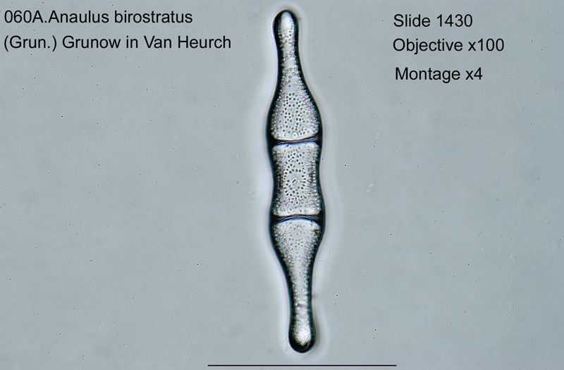 060a Anaulus birostratus Not recorded by D.&S.