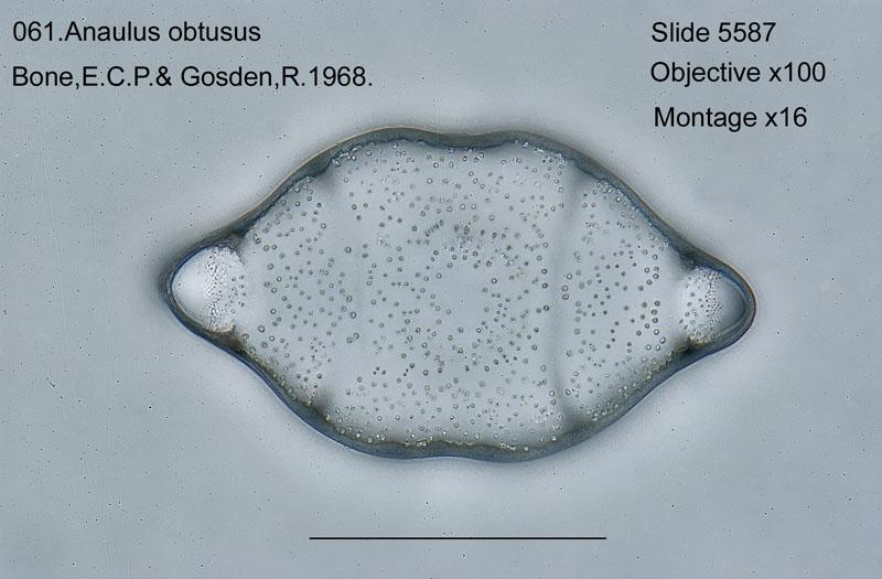 061Anaulus obtusus