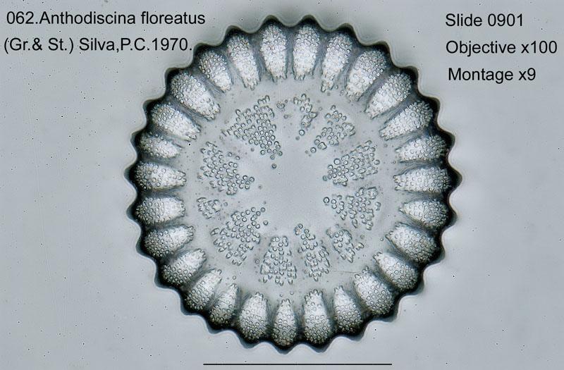 062 Anthodiscina floreatus