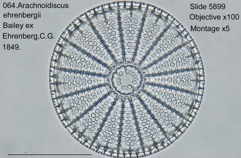 064 Arachnoidiscus ehrenbergii