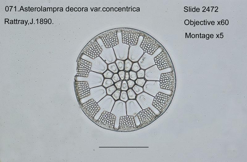 071 Asterolampra decora var. consentrica