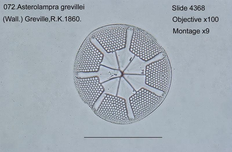 072 Asterolampra grevillei