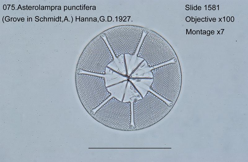 075 Asterolampra punctifera