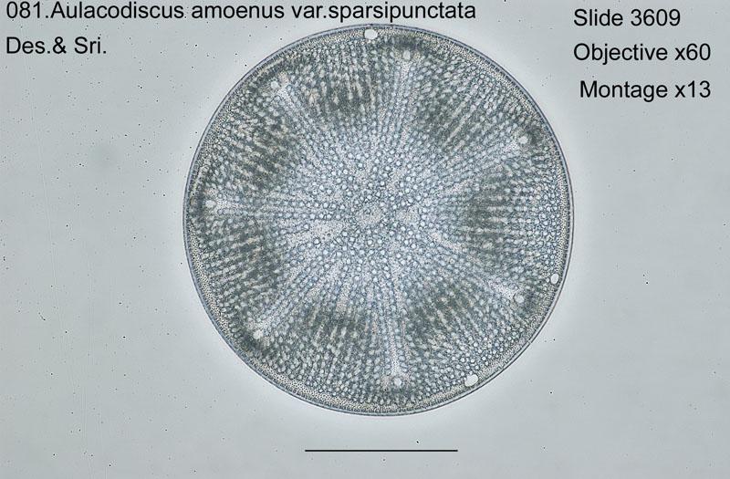 081 Aulacodiscus amoenus var. sparsipunctata
