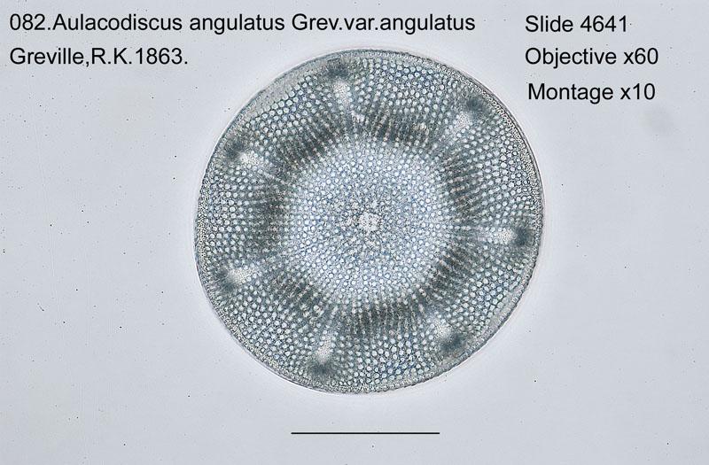082 Aulacodiscus angulatus