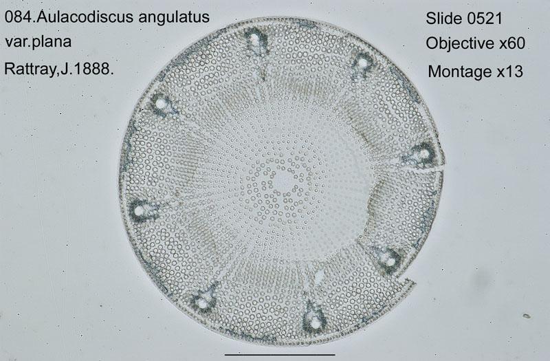 084 Aulacodiscus angulatus var. plana