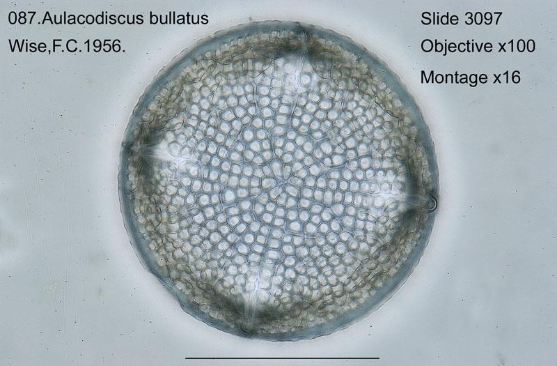 087 Aulacodiscus bullatus