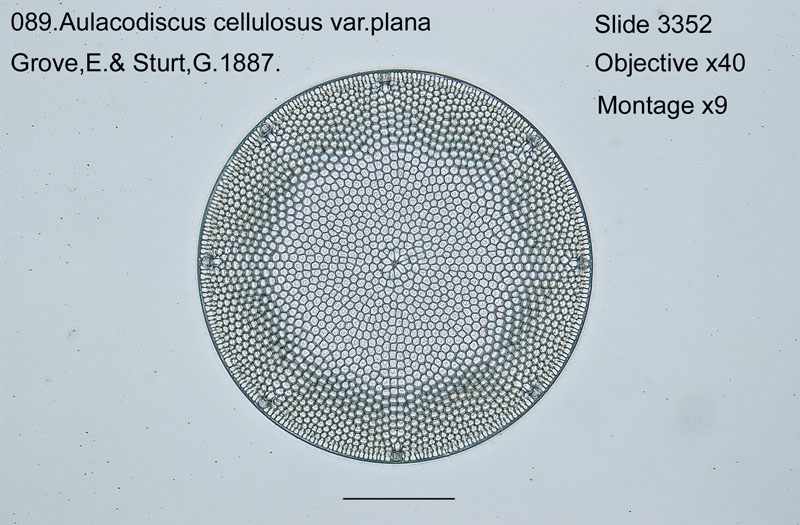 089 Aulacodiscus cellulosus var. plana