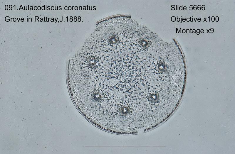 091 Aulacodiscus coronatus