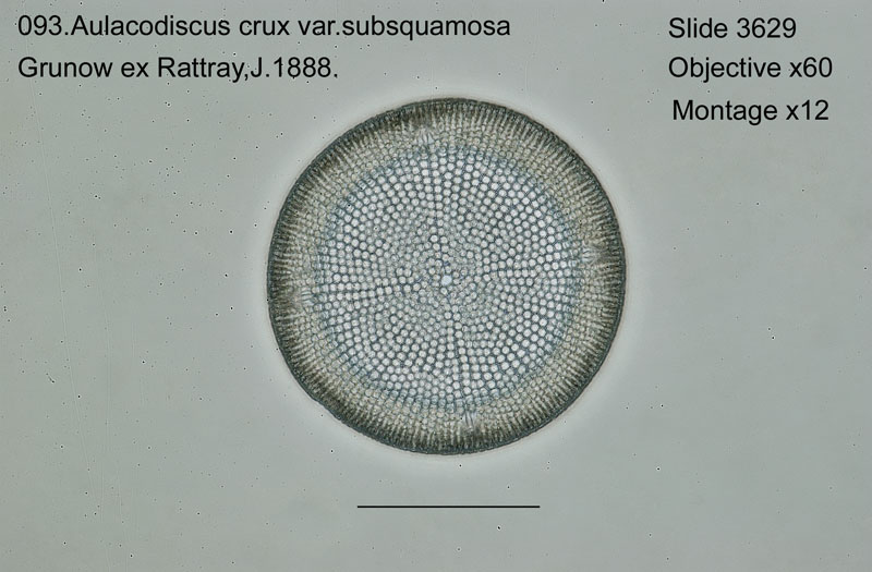 093 Aulacodiscus crux var. subsquamosa