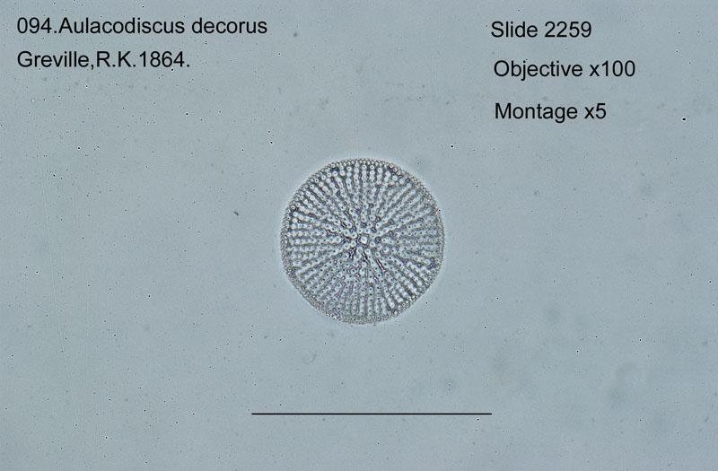 094 Aulacodiscus decorans