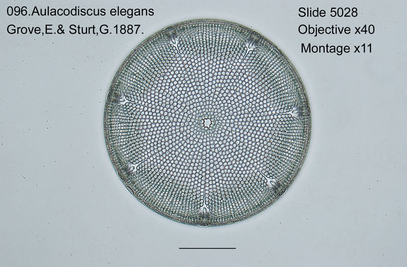 096 Aulacodiscus elegans