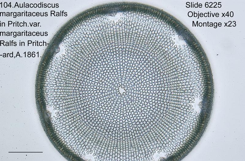 104 Aulacodiscus margaritaceus