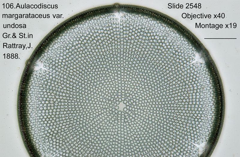 106 Aulacodiscus margarataceus var. undosa
