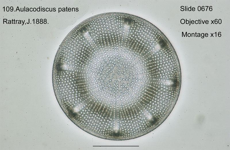 109 Aulacodiscus patens